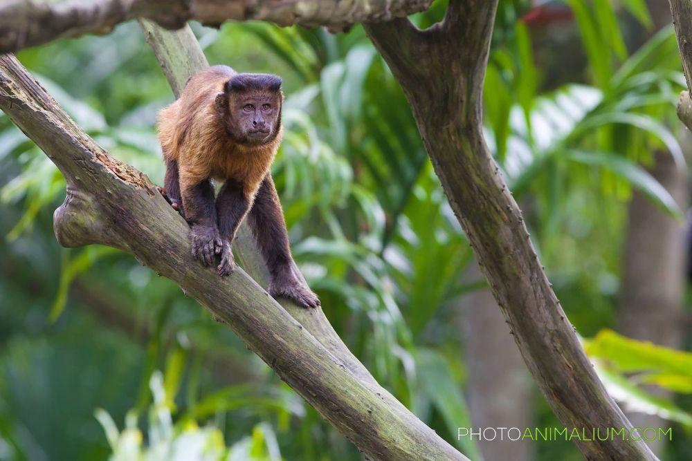 """Intricate"" (Brown Capuchin) by photoanimalium.com"