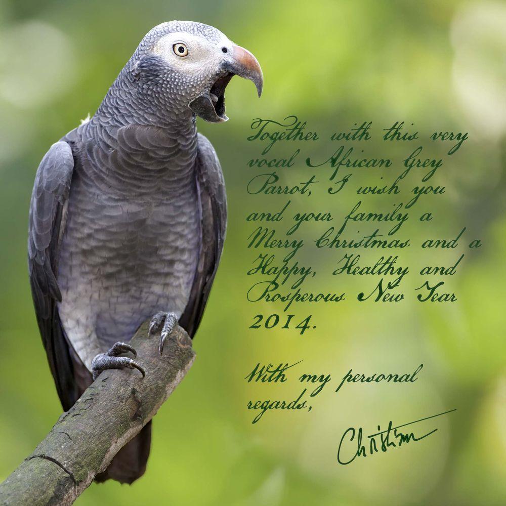 Season Greetings (African Grey Parrot) by photoanimalium.com