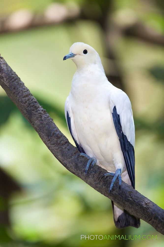 """""""Ruler"""" (Imperial Pied Pigeon) by photoanimalium.com"""