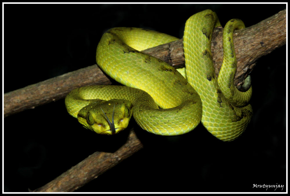 Bamboo Pit Viper by amitingle81