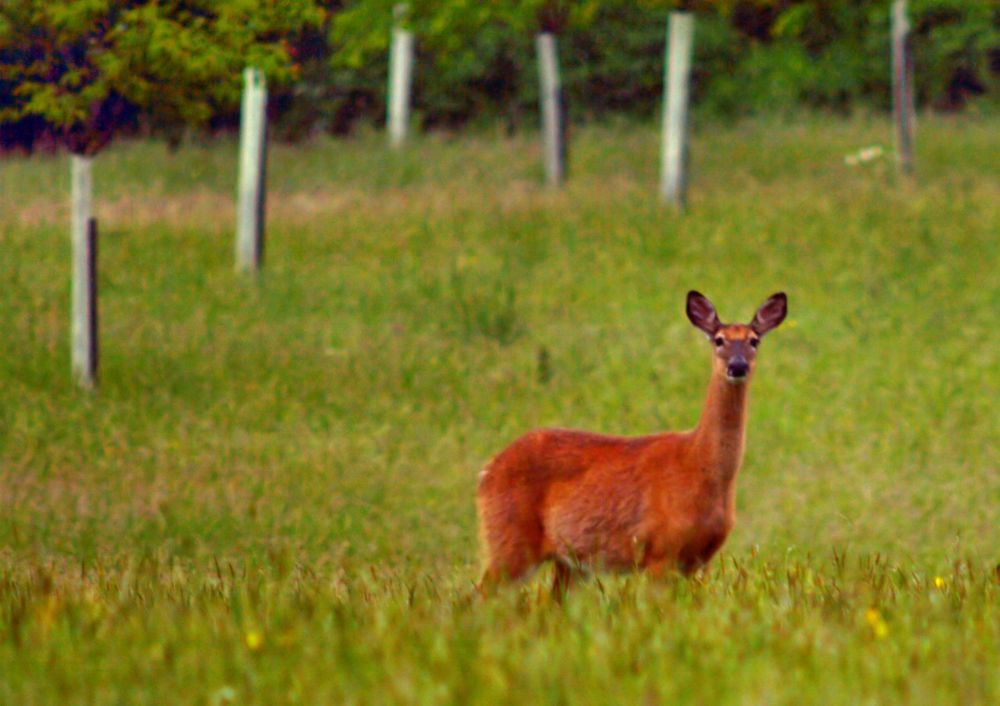 Deer by guitarplayer2571