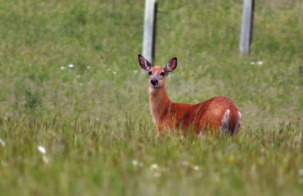 yet another Deer by guitarplayer2571