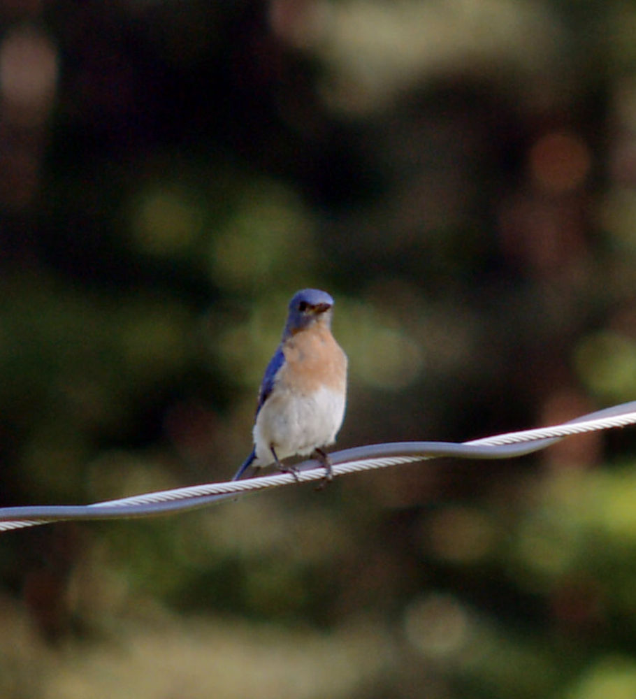 Bird on a Wire by guitarplayer2571