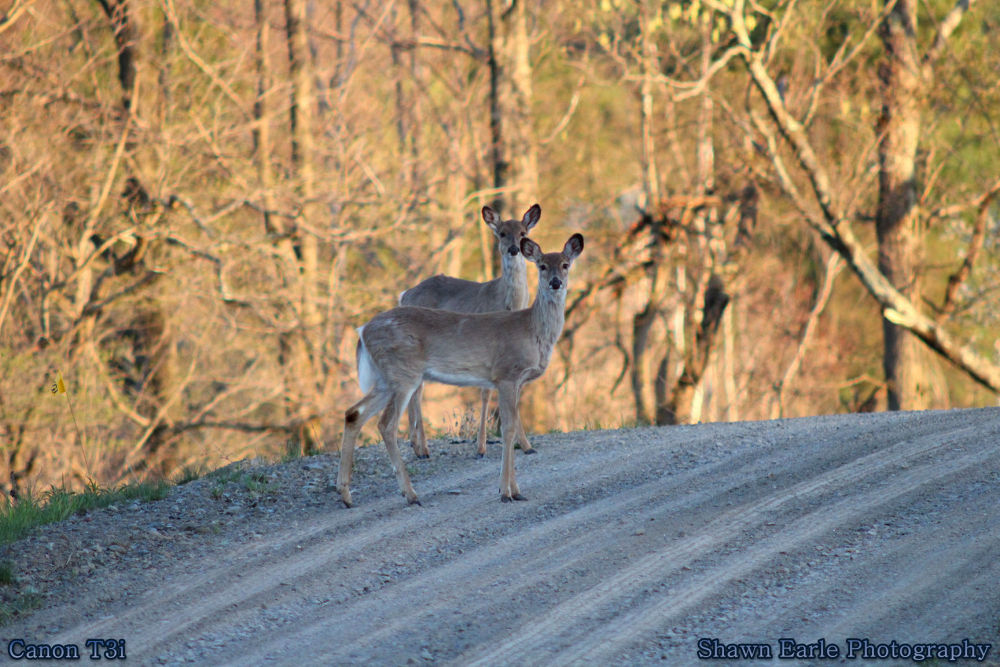Deers in Road by guitarplayer2571