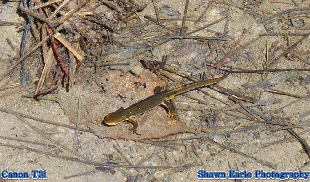 Salamander by guitarplayer2571