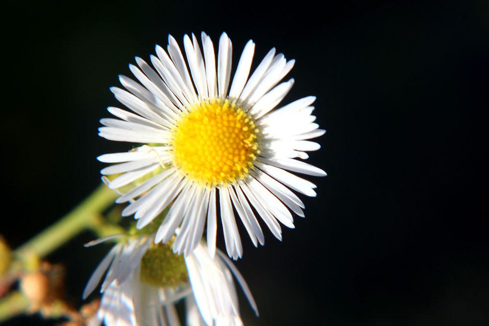Flower 4 by guitarplayer2571