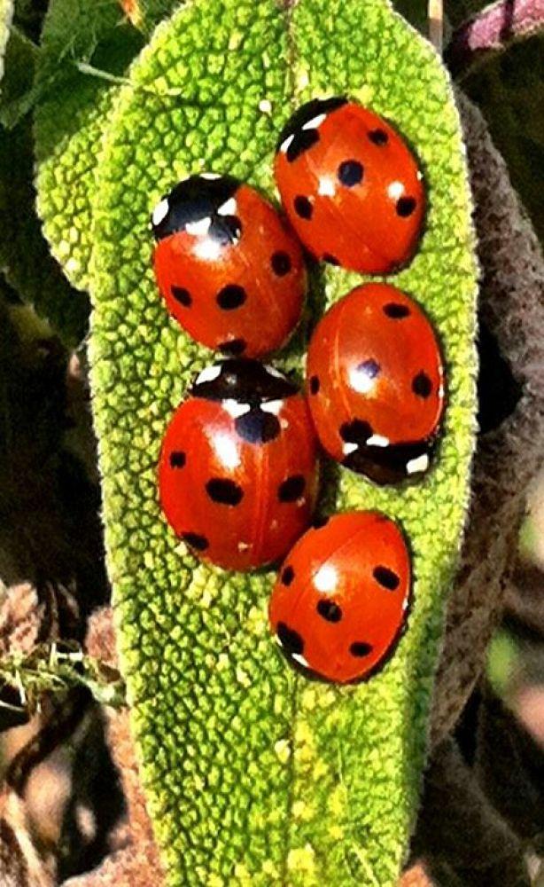 ladybugs sunbathing  by tattooogirl