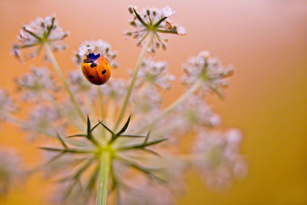 Ladybug by William Yu Photography
