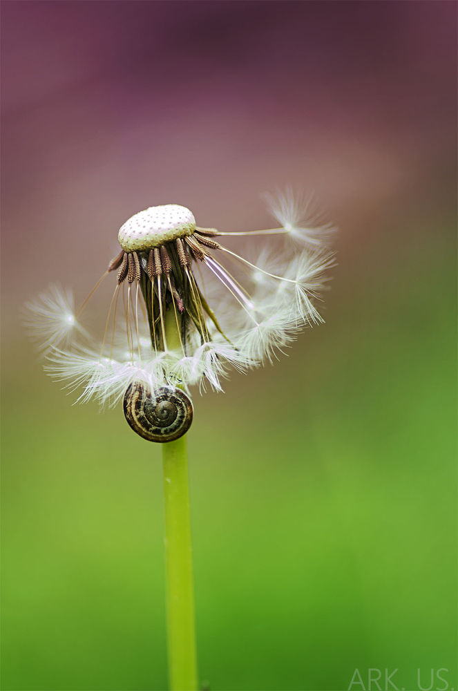 Dandelion&snail by Julia Bénard