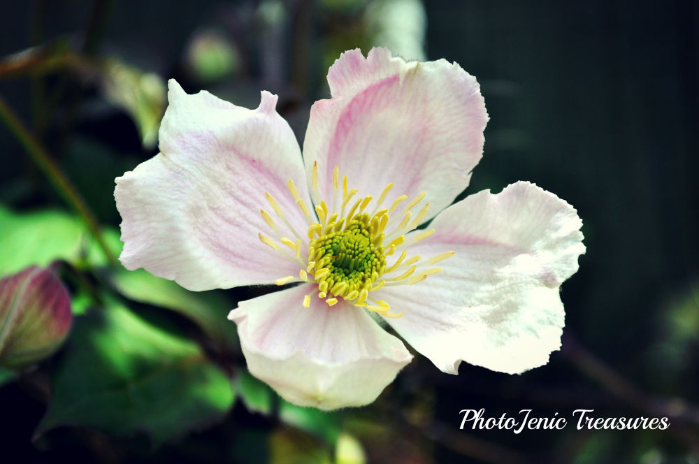 Clematis by PhotoJenic Treasures