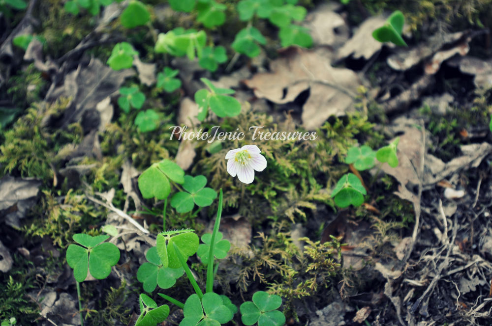 Photo in Nature #clover #green #forest #cumbria #photojenic #treasures #flower