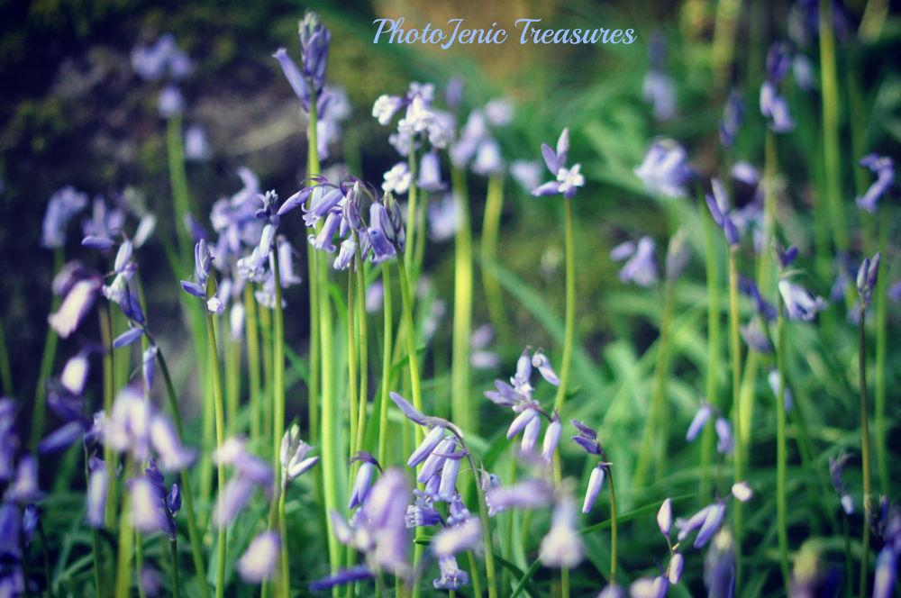 Bluebell Woods by PhotoJenic Treasures