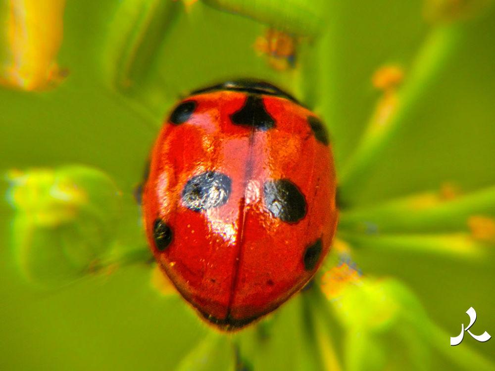 Ladybug… by jacquesraffin