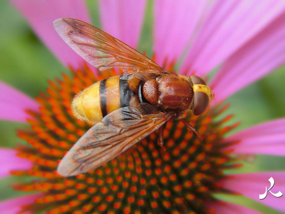 syrphe-echinacea_purpura_040 by jacquesraffin