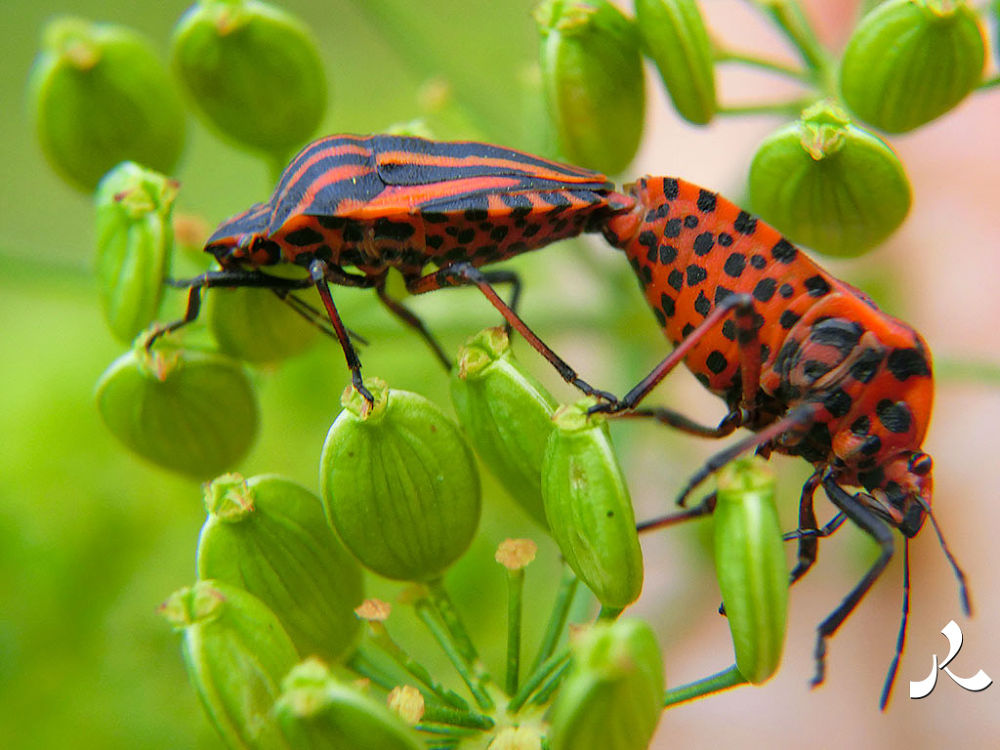 Graphosoma_italicum_788 by jacquesraffin