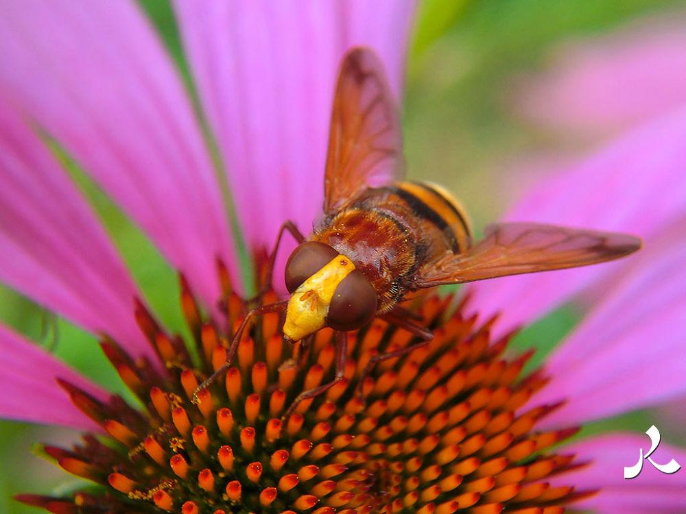 syrphe-echinacea_purpura_051 by jacquesraffin