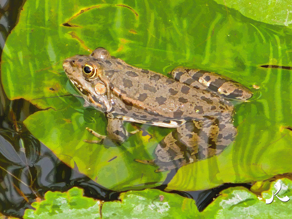 frog684 by jacquesraffin