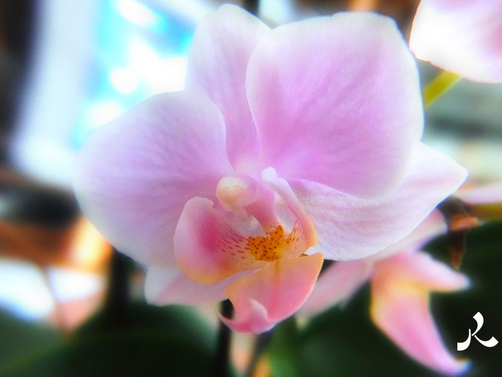 orchidee658 by jacquesraffin