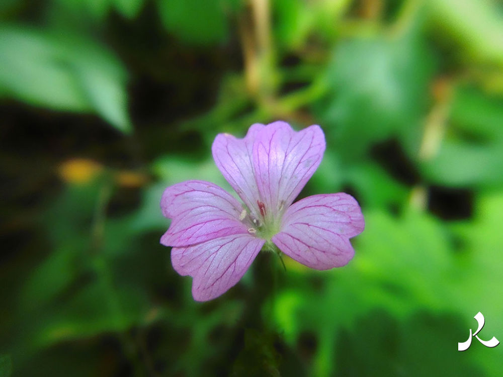 violett285 by jacquesraffin