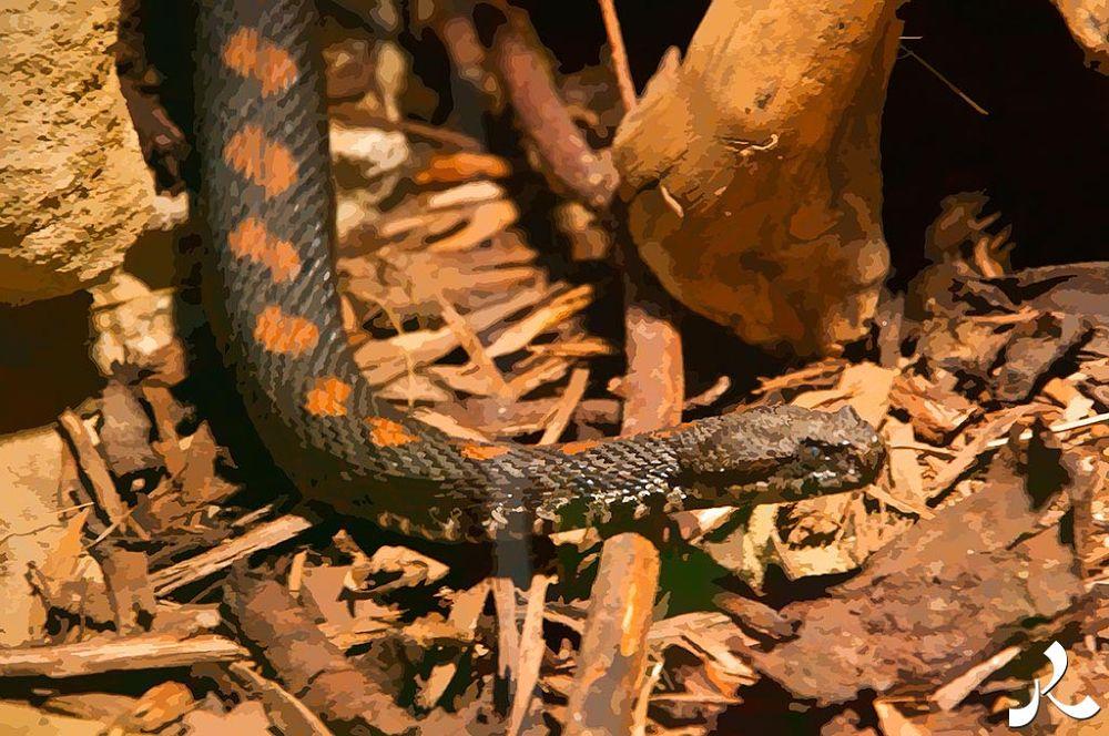 07-snake1 by jacquesraffin