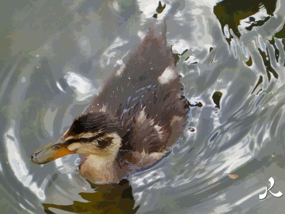 10-ducklin8 by jacquesraffin