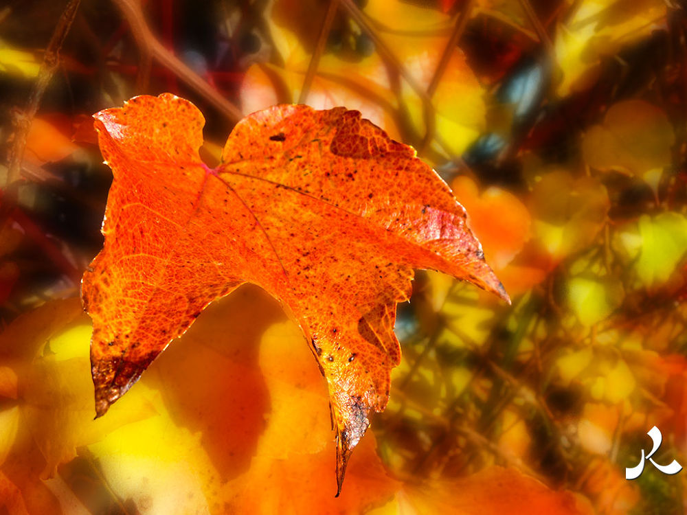 redleaves286 by jacquesraffin