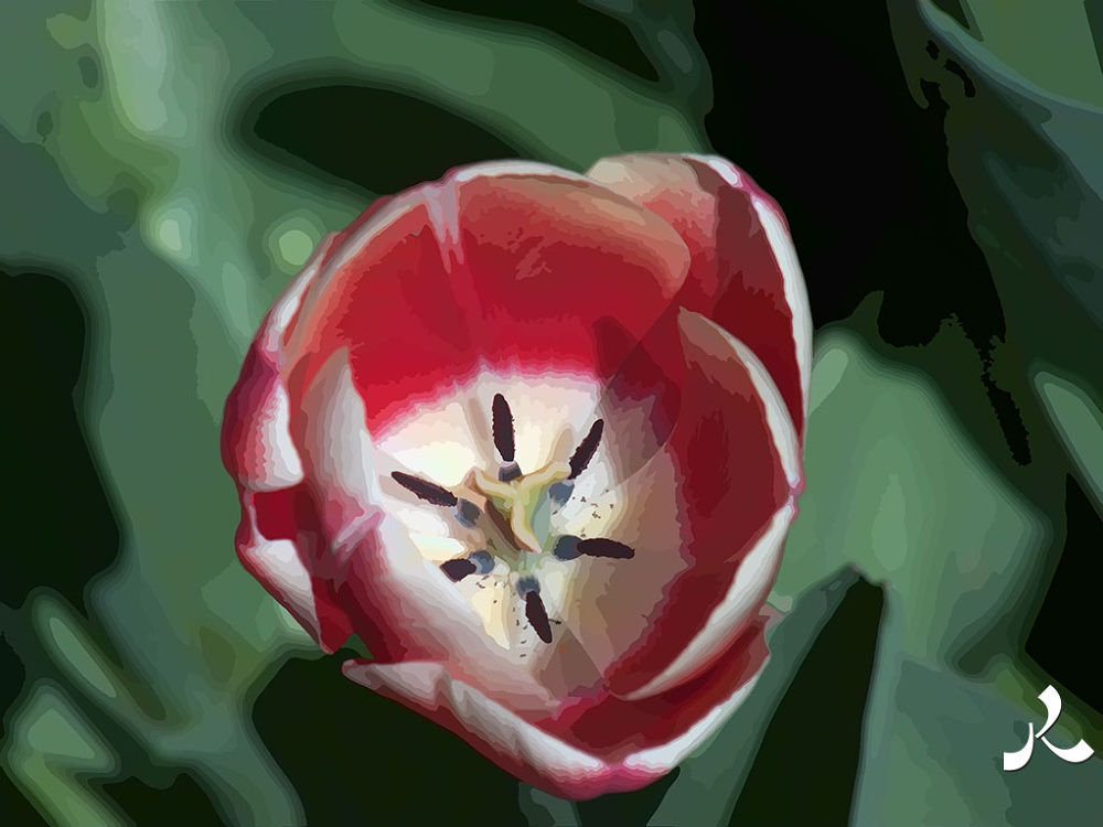 29-tulip3 by jacquesraffin