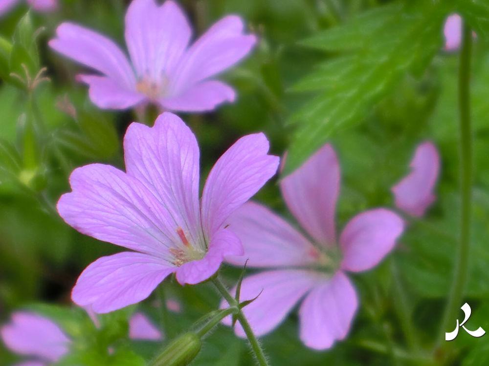 pinkvioletflrs732 by jacquesraffin
