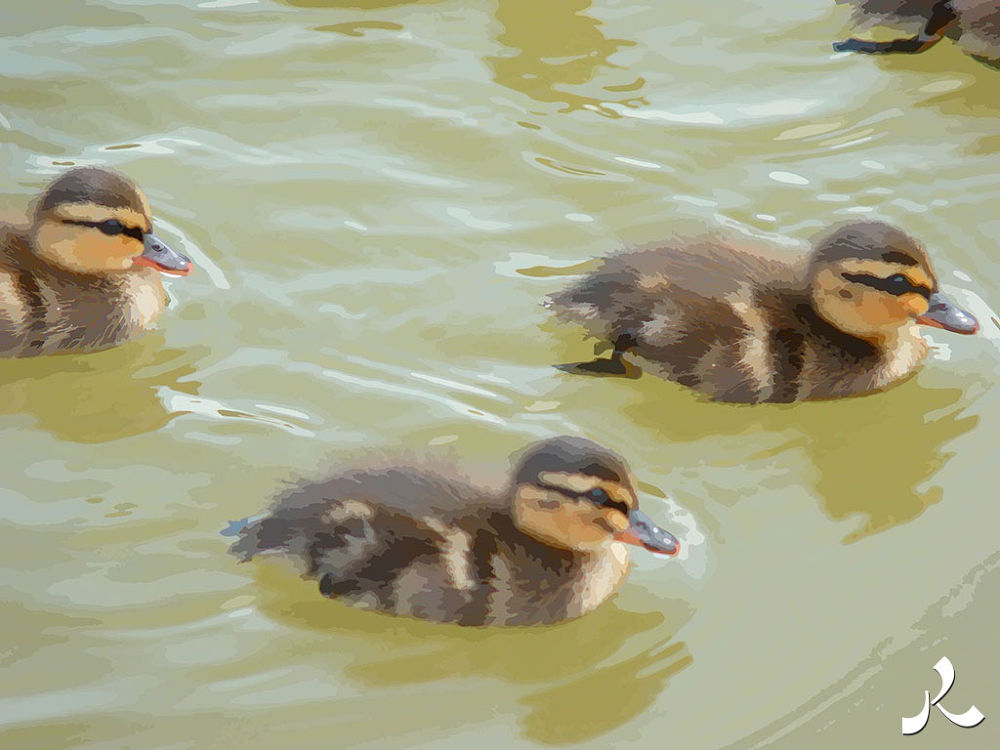 50-3ducks by jacquesraffin