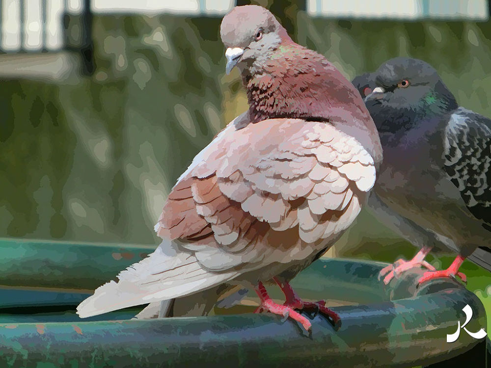 59-pigeonred1 by jacquesraffin