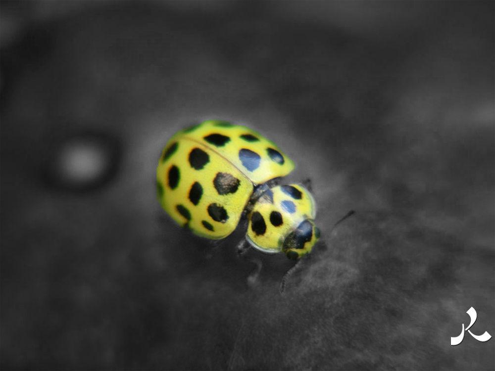 ladybug563ck by jacquesraffin