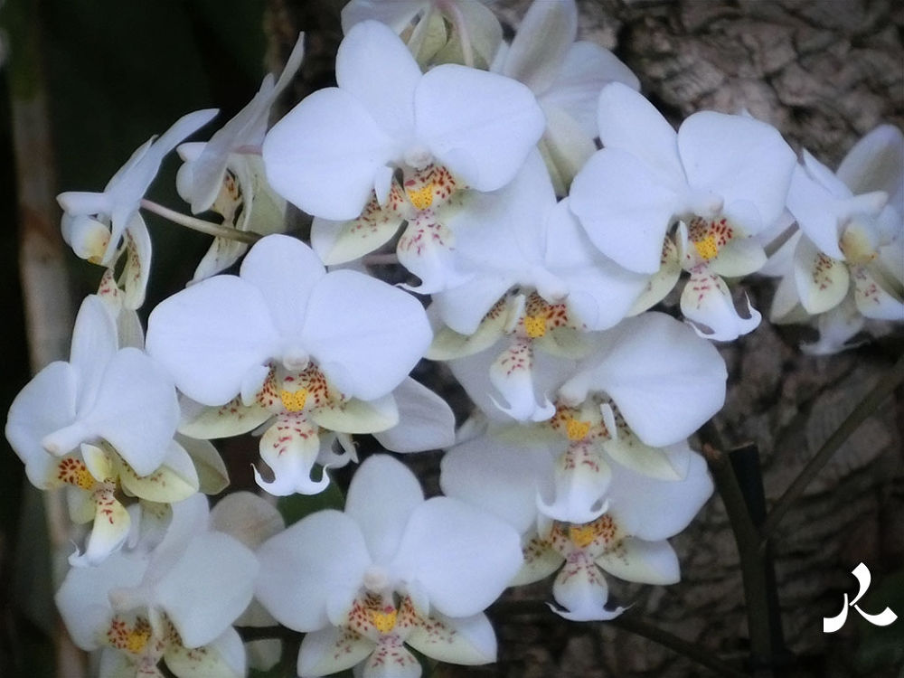orchidswhite331 by jacquesraffin