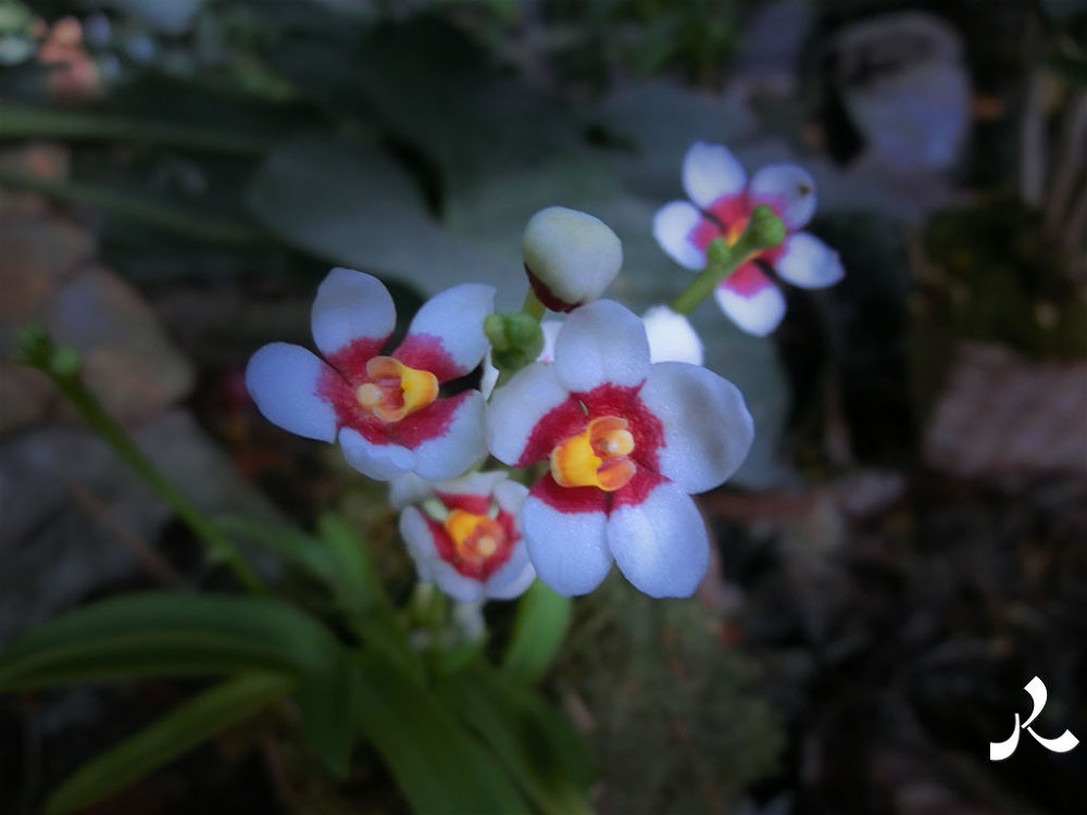 orchidssmallwhitered387 by jacquesraffin