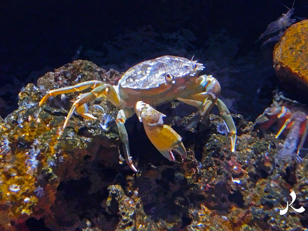 crabe847 by jacquesraffin