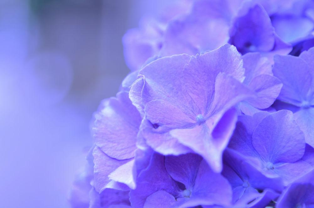 Photo in Nature #flower #hydrangea