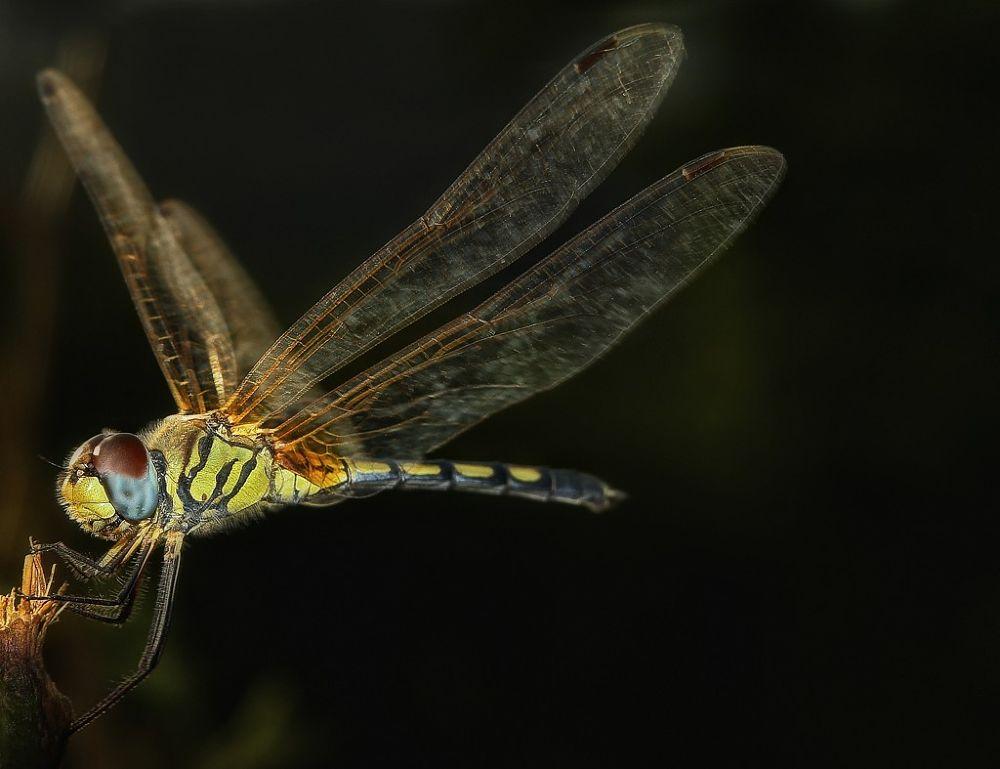 dragonfly by Somyot & Majid S Blend Werk