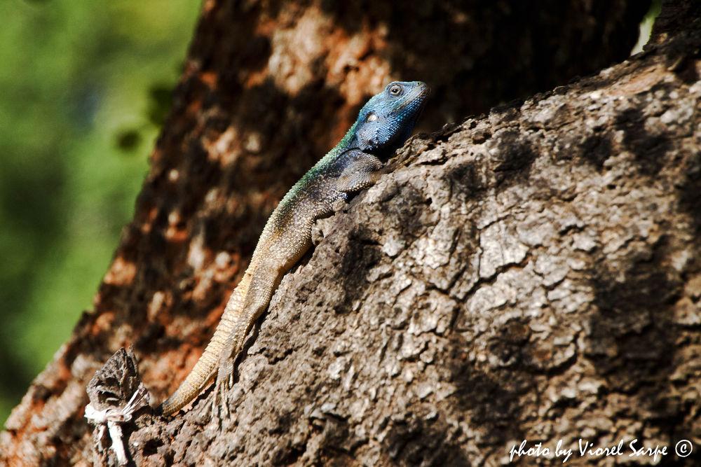 Gala Gala Lizard - resting in the sun by viorelsarpe