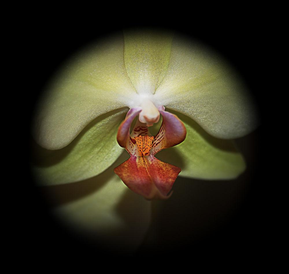 Orchidea by katikiralyne