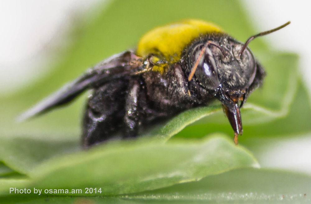 Yellow bug  by osamamohammed3304
