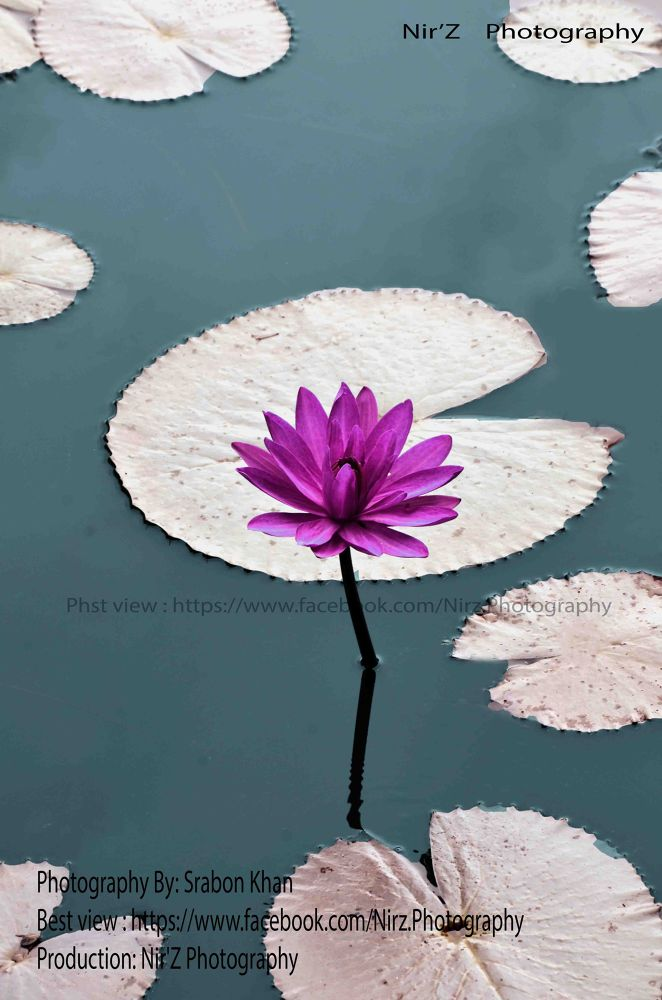 National Flower Bangladesh by NirZPhotography