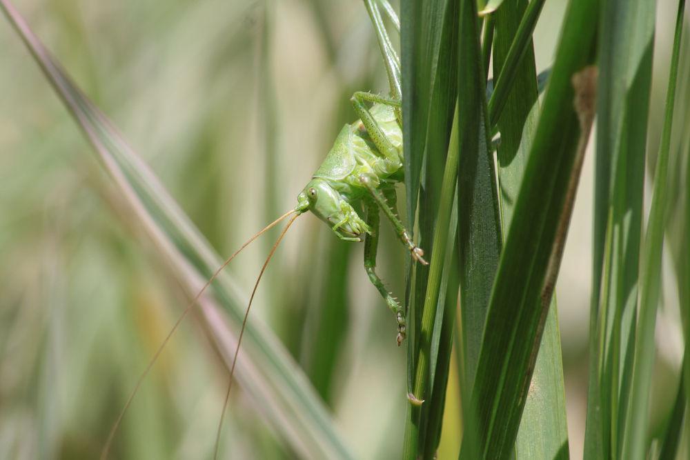 grasshopper by nadjakaiser