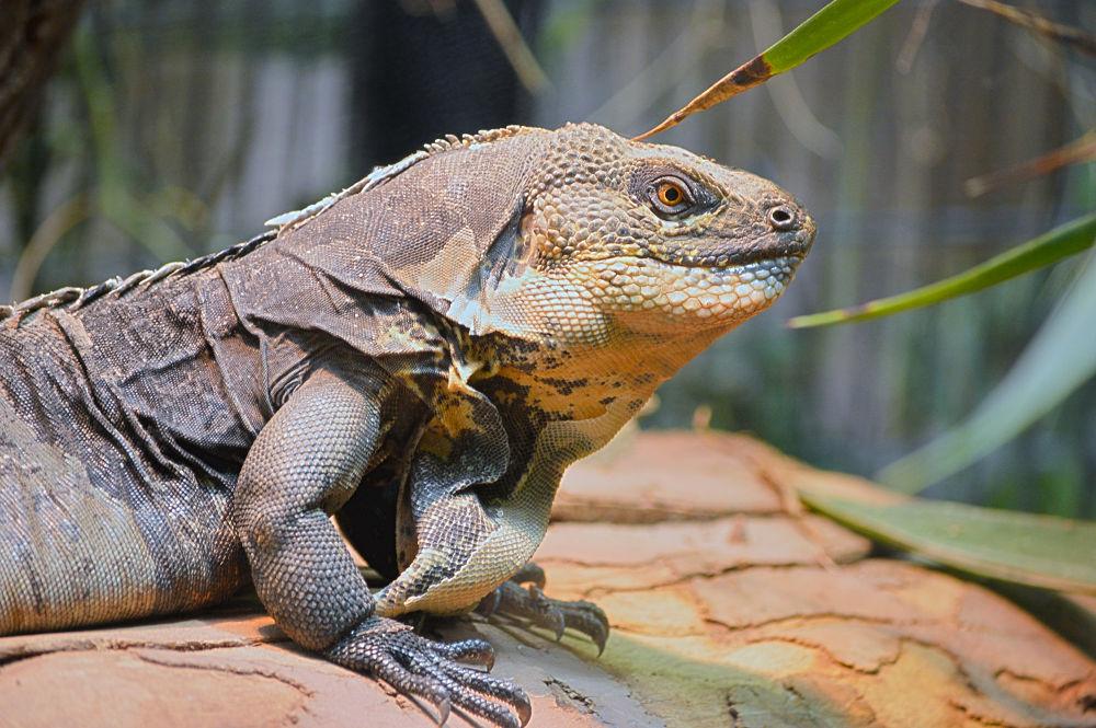 black breast iguana by nadjakaiser
