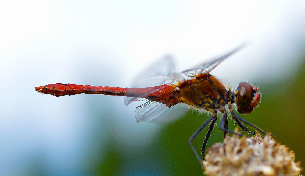 red dragonfly by nadjakaiser