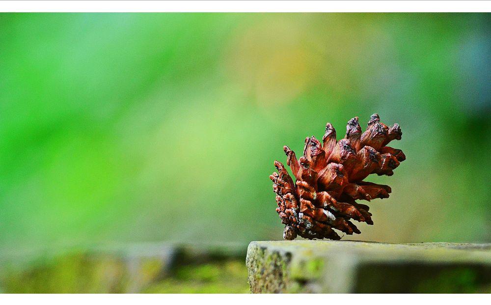 biji pinus by Suisnofla/alfonsiuS