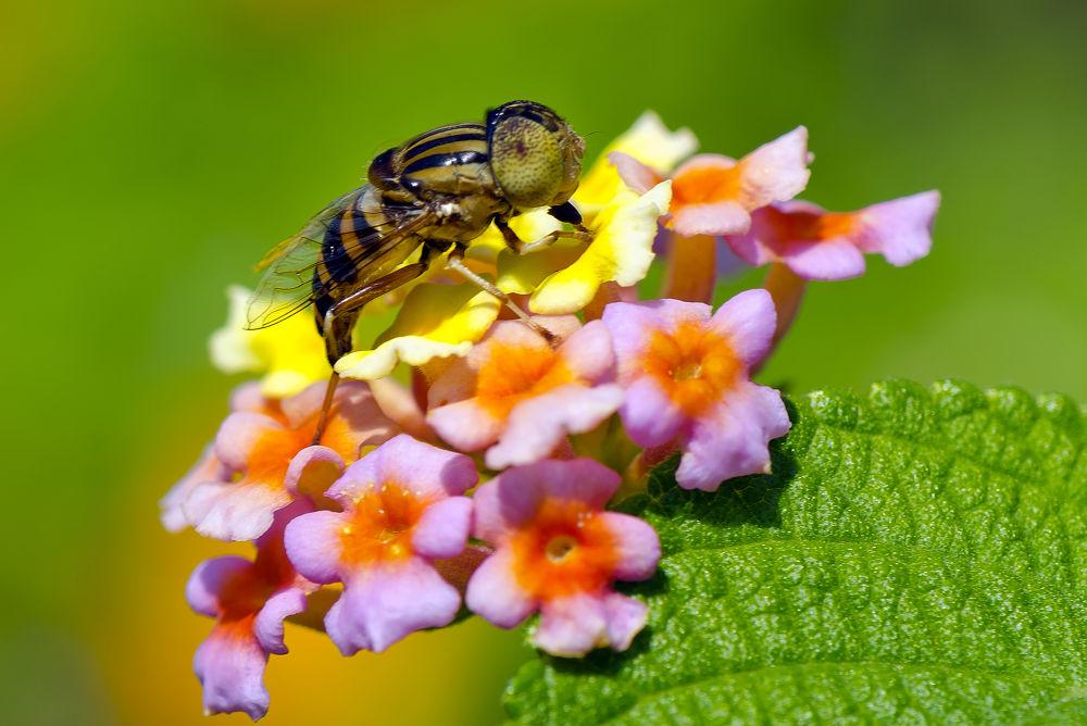 """Lantana & the Bee"" by surajpsingh1975"