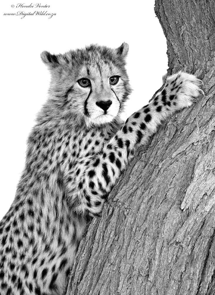 Cheetah Cub by HendriVenter