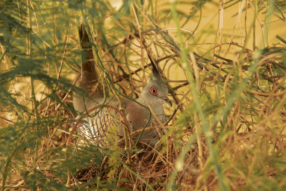 BROODING PRINCESS - The Crested Pigeon by PAUL (PaddyPoet) BMJ LOFTUS