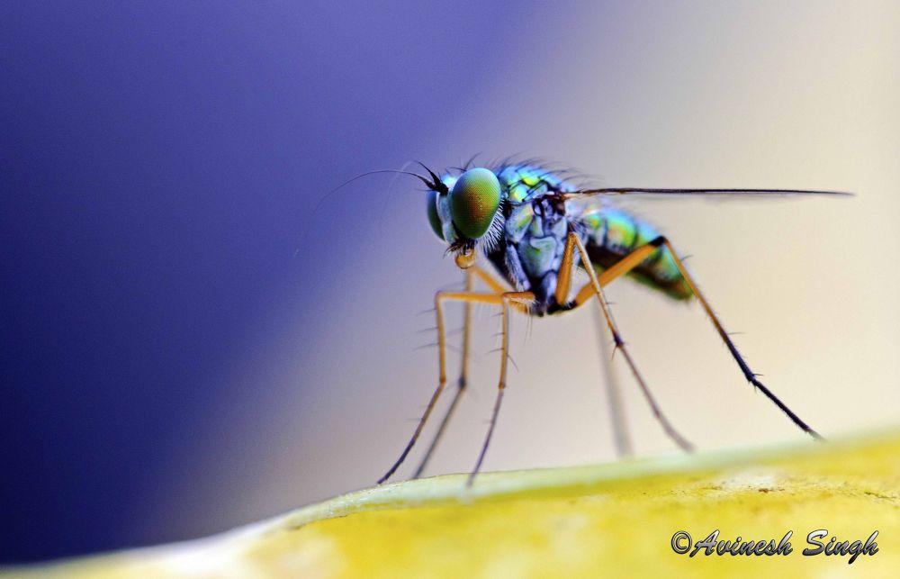 Macro of a fly by avineshsingh