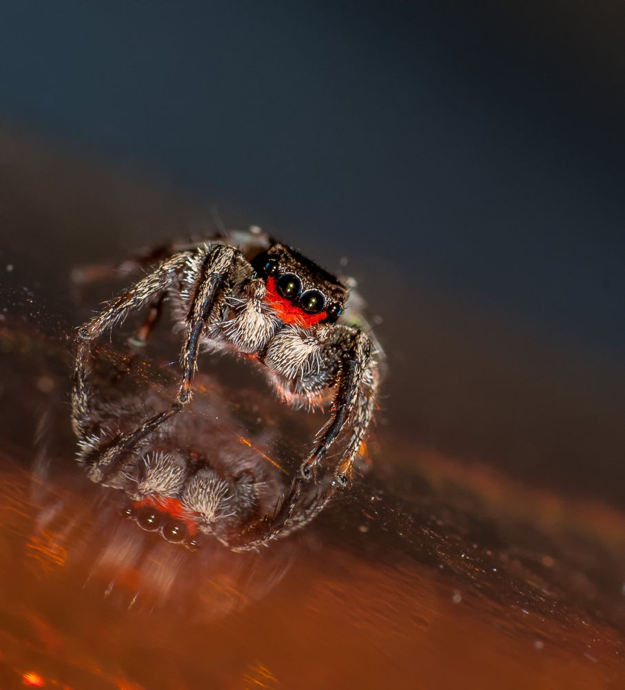 Red Mustached Jumping Spider with it's reflection by ScreaminScott