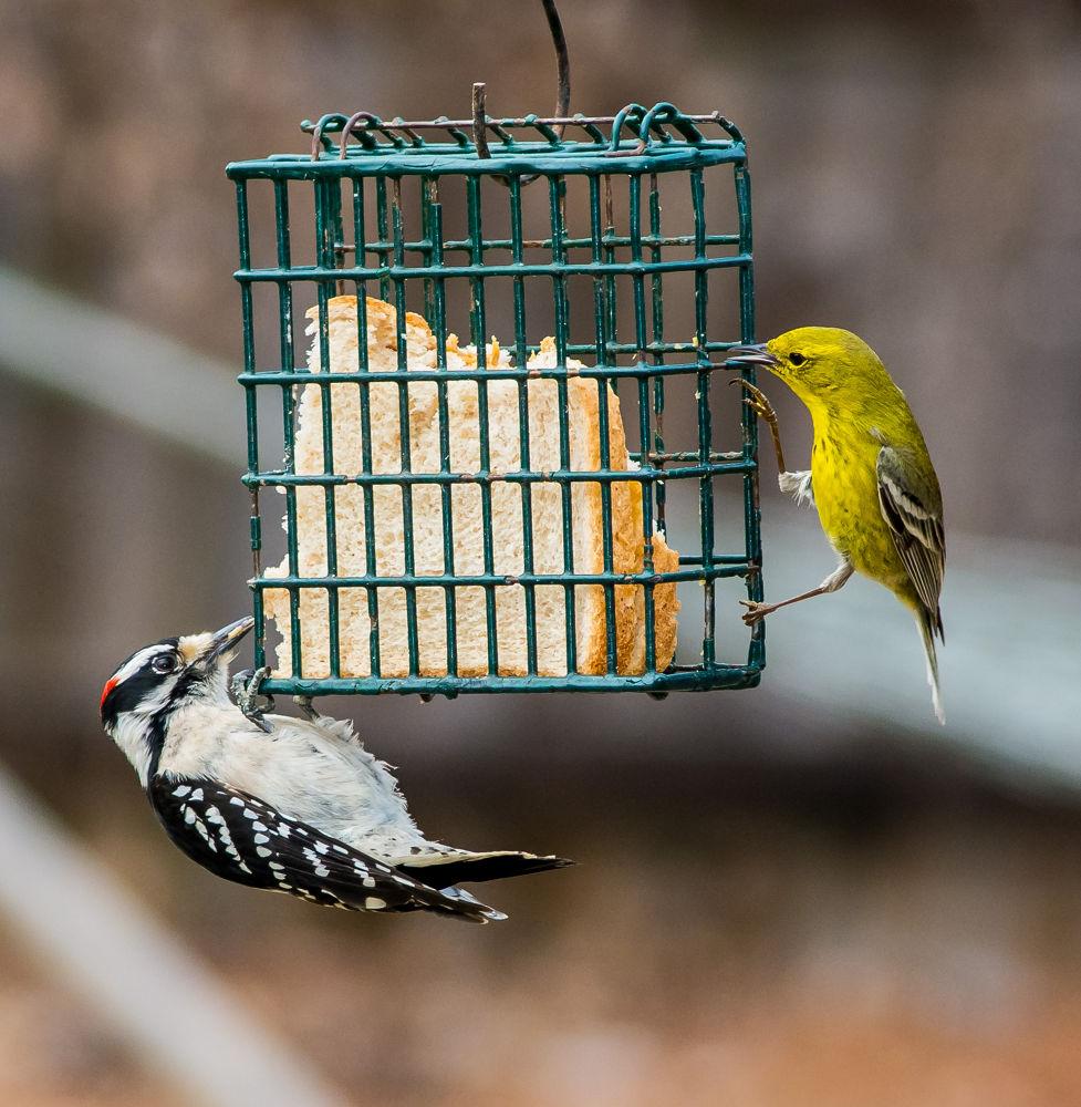Buddies (Downy Woodpecker & Pine Warbler) by ScreaminScott